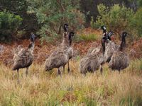 Emus are wild on the property
