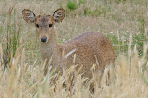 Doe Hog Deer