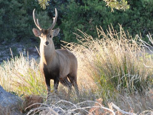 Hog Deer Hunting Melbourne
