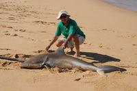 Bronze Whaler Shark caught on the property during the April Hog Deer Hunt