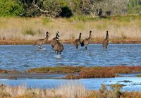Emus walking across the lake on the property