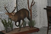 Full Mounted Hog DeerTaxidermy by Cam Johnson Perry Bridge Victoria Australia