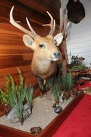 Full Mounted Hog Deer Taxidermy by Cam Johnson Perry Bridge Victoria Australia