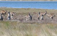 Numerous Kangaroos on the property