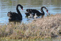 Black Swans and their babys
