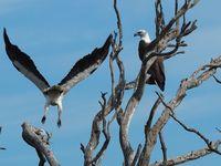 Sea Eagles on the Hog Deer Property