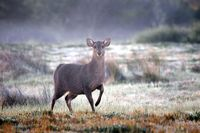 Hog Deer on a frosty morning