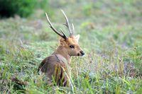Hog Deer Hunting Australia
